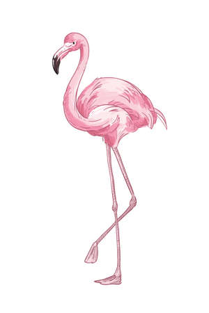 Pink flamingo hand drawn vector illustration. Cute exotic bird color drawing. African fauna representative, realistic wild animal. Tropical red plumage birdie isolated on white background.