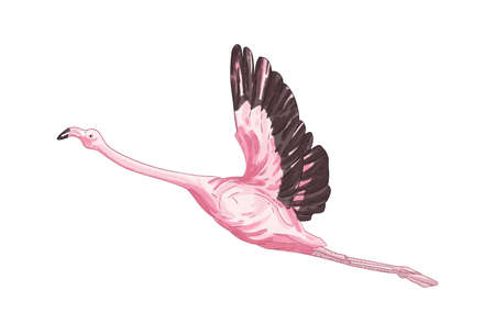 Flying flamingo vector illustration. Exotic bird with pink feathers isolated on white background. Flight of realistic hand drawn tropical bird with big wings. Wildlife, zoo, nature.