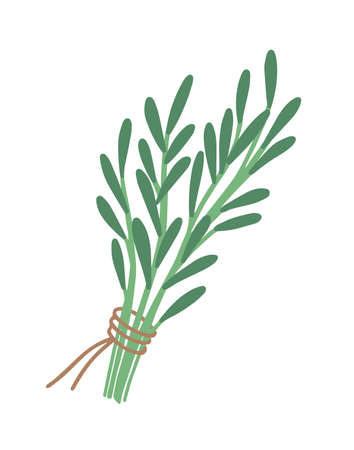 Green rosemary sprig flat vector illustration. Bunch of greenery tied with red ribbon. Herbs bouquet isolated on white. Seasonings and spices kind for cooking. Botany, colorful leaves and branches.