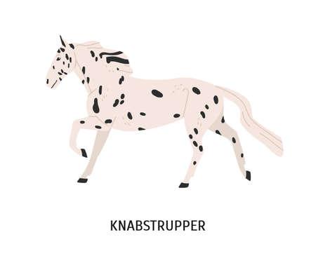 Knabstrupper horse flat vector illustration. Danish breed equine, pedigree hoss, unusual hair color horse. Equestrian sport, riding, animal breeding concept. Hoofed mammal isolated on white background Stock Vector - 135754729