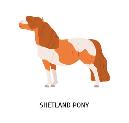 Shetland pony flat vector illustration. Small equine, pedigree hoss, thiller, undersized horse. Equestrian sport, animal breeding concept. Dwarf horse, hoofed mammal isolated on white background