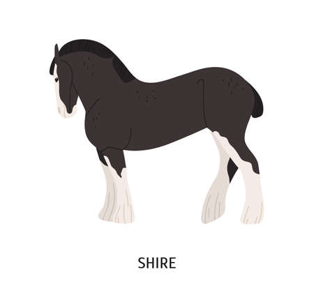 Shire horse flat vector illustration. British breed equine, pedigree hoss, draft horse. Equestrian sport, hoofed animal breeding concept. Drafter, thoroughbred mammal isolated on white background Illustration