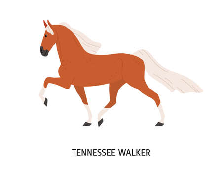 Tennessee Walking Horse flat vector illustration. American equine, Walker breed steed, pedigree hoss. Equestrian sport, breeding concept. Beautiful hoofed animal isolated on white background