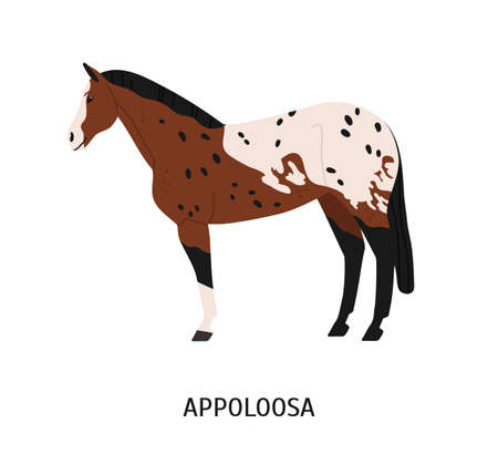 Appalloosa breed horse flat vector illustration. American equine with forelock, pedigree hoss. Equestrian sport, riding concept. Beautiful spotty steed, hoofed animal isolated on white background Stock Vector - 135754763