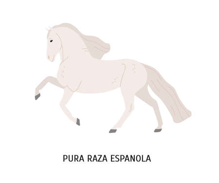 Pura Raza Espanola flat vector illustration. Thoroughbred spanish horse, andalusian equine, pedigree hoss. Beautiful white steed, hoofed animal, mammal isolated on white background