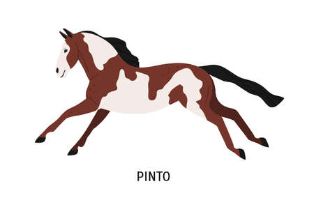 Pinto breed horse flat vector illustration. Pedigree equine, piebald, spotty hoss. Horse breeding, horseback riding concept. Beautiful steed, hoofed animal isolated on white background