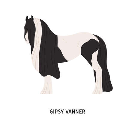 Gypsy vanner flat vector illustration. Pedigree equine, tinker breed, draft horse. Hoss breeding, equestrian sport concept. Irish workhorse, hoofed animal isolated on white background