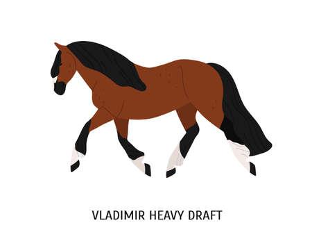 Illustration vectorielle plate de cheval de race de trait lourd de Vladimir. Belle équine, bête de somme, hoss domestique. Concept d'élevage de chevaux. Destrier, prad brun, animal à sabots isolé sur fond blanc