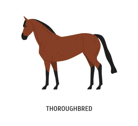 Thoroughbred horse flat vector illustration. Beautiful brown racehorse for equestrian sport isolated on white background. Graceful chestnut color stallion. Expensive purebred mare. Beautiful steed