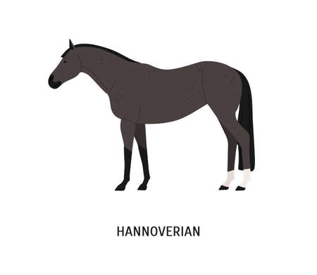 Hannoverian horse flat vector illustration. Beautiful dark grey stallion with short mane isolated on white background. Graceful German breed mare. Strong warmblood animal, powerful steed.
