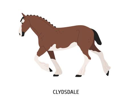 Clydsdale horse flat vector illustration. Strong Clydesdale stallion isolated on white background. Scotland purebred draft horse. Brown and white farm work mare. Powerful carthorse species.