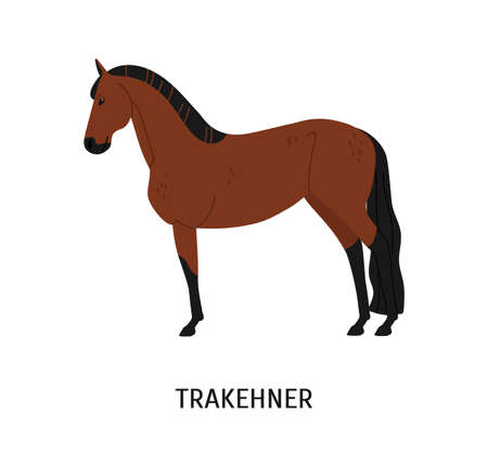 Trakehner horse flat vector illustration. Elegant brown stallion isolated on white background. Cartoon East Prussian racehorse. Graceful chestnut color mare. Beautiful hoofed mammal, stud farm animal.