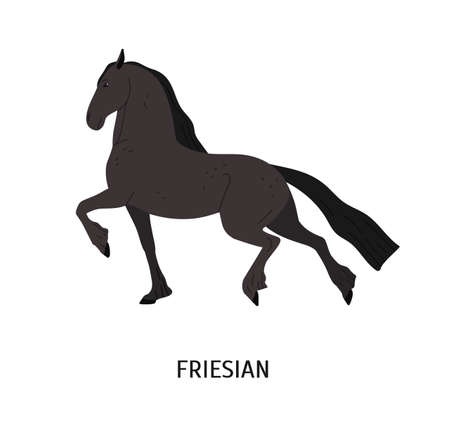 Friesian horse flat vector illustration. Purebred Frizian stallion isolated on white background. Black mare with long mane galloping. Strong and fast racehorse. Thoroughbred warmblood mammal.
