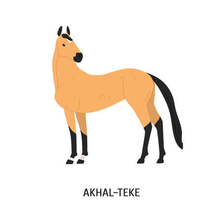 Akhal-Teke breed horse flat vector illustration. Beautiful equine, palfrey, blood-horse. Hoss breeding concept. Arabian steed, Turkmen horse, hoofed animal isolated on white background.