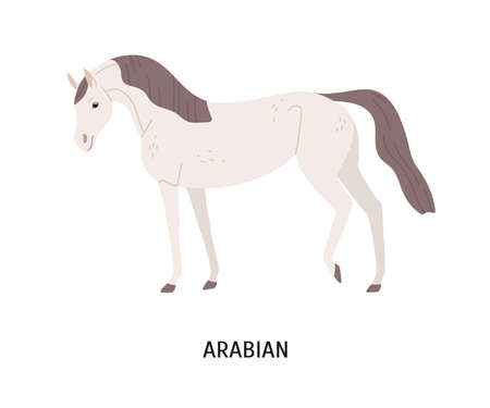 Arabian horse flat vector illustration. Beautiful equine, thoroughbred palfrey, saddle-horse. Hoss breeding, equestrian sport concept. Arabic steed, hoofed animal isolated on white background. Illustration