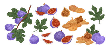Set of fresh and dried fig fruit colored illustration. Realistic exotic sweet delicious with leaves isolated on white background. Ripe purple natural vegetarian eating