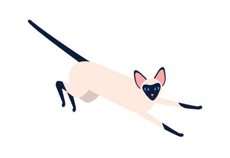 Domestic exotic siam pet vector flat illustration. Siamese oriental cat breed isolated on white background. Playful elegance black and white animal with big ears