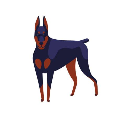 Strong colored doberman pinscher dog breed vector flat illustration. Muscular angry domestic animal posing isolated on white background. Powerful black and brown pet standing