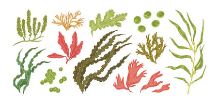 Set of colorful hand drawn edible algae vector graphic illustration. Collection of different aquatic plants isolated on white background. Natural drawing botanical seaweed