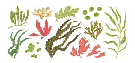 Ensemble d'illustration graphique vectorielle d'algues comestibles colorées dessinées à la main. Collection de différentes plantes aquatiques isolées sur fond blanc. Algues botaniques de dessin naturel
