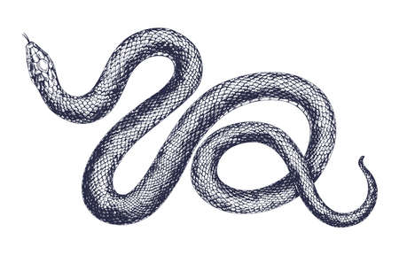Vintage snake vector engraving illustration. Hand drawing dangerous reptile isolated on white background. Realistic tropical wild predator. Black and white drawing viper Ilustración de vector