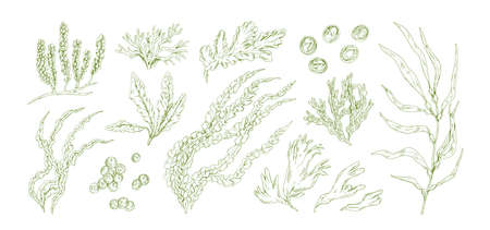 Collection of monochrome edible algae isolated on white background. Different hand drawn seaweed. Organic water plants. Realistic detailed seaware set. Vector illustration