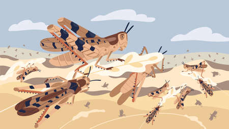 Swarm of locusts attacking plants field vector illustration. Insects threatening food security. Pest of rice meadow. Agricultural plague natural devastation of herb. Grasshoppers on ripe seed head