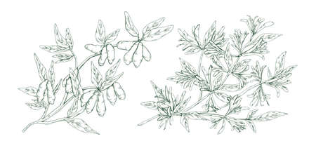 Hand drawn blossom honeysuckle in monochrome engraving style. Edible plant branch with flowers and berries vector illustration. Detailed seasonal garden woodbine isolated on white background 일러스트