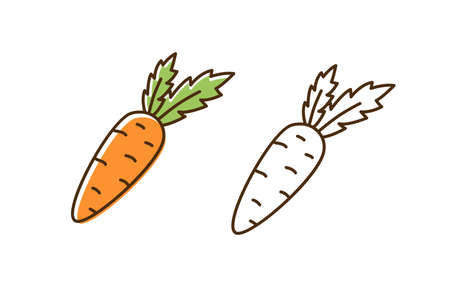 Set of fresh organic carrot in colorful and monochrome line art style. Natural vegetable with design elements isolated on white background. Cute vegetarian healthy food with vitamins