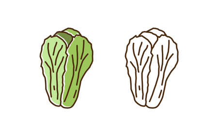 Colorful and monochrome outline chinese cabbage set illustration. Organic natural vegetable with green leaves in line art style. Cultivated food with vitamin ingredient isolated on white