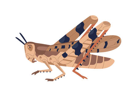 Colorful locust vector illustration. Wild winged insect isolated on white background. Parasite or agricultural plague. Huge creature harvest decimating. Bug threatening seasonal plant Illusztráció
