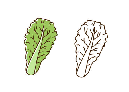 Organic romaine lettuce monochrome and colorful set vector flat illustration. Dietary antioxidant vegetable leaves icon in line art style. Eco fresh ingredient for healthy nutrition isolated