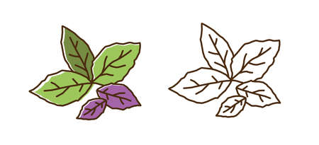 Set of color and monochrome basil leaves vector flat illustration. Purple and green edible herb leaf icon isolated on white background. Fresh vitamin plant with design elements in line art style  イラスト・ベクター素材