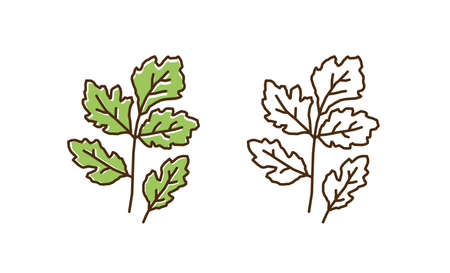 Set of colorful and monochrome cilantro in line art style. Natural vitamin plant with leaves and stem vector flat illustration. Organic diet fresh food for healthy nutrition isolated on white
