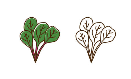 Natural organic mangold plant with leaves vector flat illustration. Set of monochrome and colorful chard spice ingredient in line art style. Healthy vitamin food with leaf and stem isolated on white Vector Illustratie