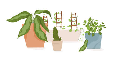 Composition of houseplants in pots vector flat illustration. Different pottery plant in containers isolated on white background. Various greenery with leaves and steam for home growing