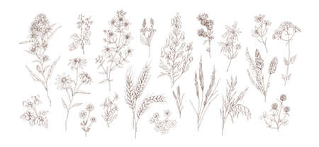 Collection of different medical herbs, treatment plant, meadow flowers in detailed realistic style. Set of hand drawn outline botanical wildflowers vector illustration isolated on white background