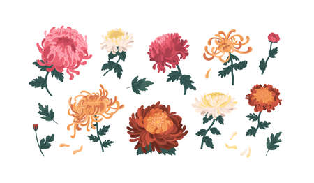 Set of gorgeous colorful peonies and chrysanthemums vector illustration. Collection of beautiful flowers with buds, stems and leaves isolated on white. Elegant blossom plants with design elements Ilustração Vetorial