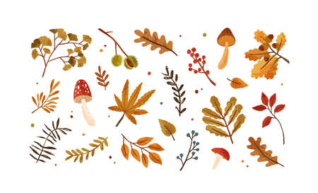 Set of dried autumn leaves, berries and mushrooms vector flat illustration. Collection of various chestnut, acorn, branches and foliage isolated on white. Beautiful seasonal rowanberries and oak leaf 矢量图像