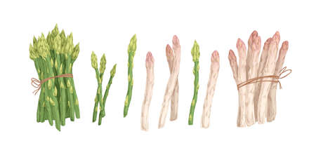 Collection of white and green asparagus stems and bound bunches isolated on white background. Set of raw fresh vegetables. Hand drawn colorful realistic vector illustration