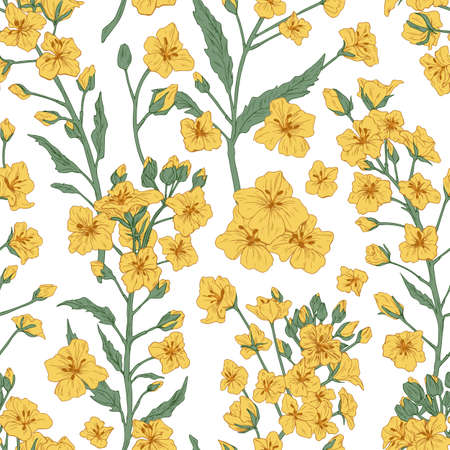 Elegant seamless pattern of rapeseed plant or canola flowers. Design for printing. Endless repeatable floral backdrop in retro style. Hand-drawn detailed vector illustration on white background