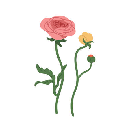 Elegant flowers of ranunculus with blossomed and unblown buds. Botanical floral elements. Colorful flat vector illustration isolated on white background