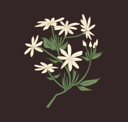 Star-shaped white jasmine flowers with eight petals. Blossomed branch with unblown buds of Indian jasmin. Floral element isolated on black background. Colored hand drawn vector illustration