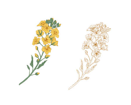 Yellow-colored canola flower and outline rapeseed sprig. Two branches of rape plants. Hand-drawn contoured floral elements in retro style. Botanical vector illustration isolated on white background Ilustração