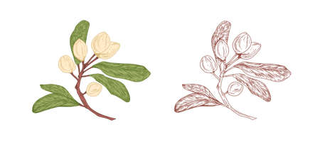 Colored pistachio tree branch and unpainted outlined sketch of pistache plant with ripe nuts in shells and leaves. Botanical elements in retro style. Vector illustration isolated on white background Ilustração Vetorial