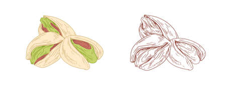 Colored pistachio nuts and unpainted outlined sketch of pistaches fruits. Green kernels in nutshells. Hand-drawn vector illustration in retro style isolated on white background