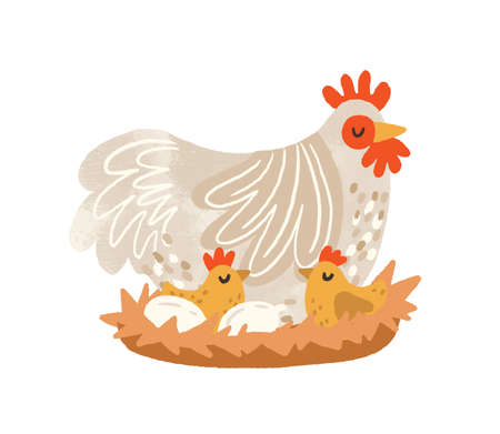 Cute hen on nest with eggs and hatched chickens. Domestic bird during laying and brooding. Colorful flat textured vector illustration isolated on white background Ilustração