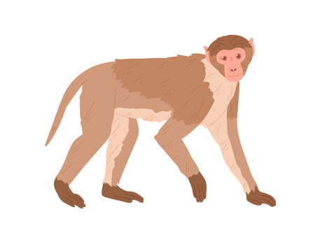 Side view of marmoset or macaque with brown hair. African monkey isolated on white background. Exotic jungle animal standing on all four limbs. Colored flat vector illustration