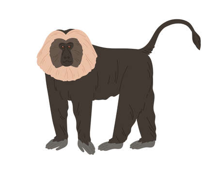 Lion-tailed macaque or wanderoo. Indian monkey with silver-white mane and black fluffy coat. Exotic jungle animal with shaggy fur. Colored flat vector illustration isolated on white background