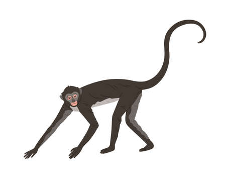 Walking spider monkey with black and gray fur, small head, long thin limbs and tail. Wild Brazilian animal. Colored flat vector illustration isolated on white background